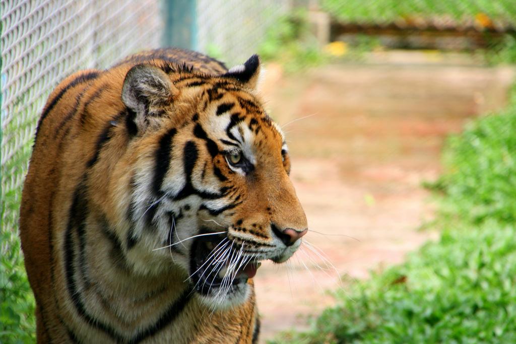 Tiger Kingdom Mae-rim